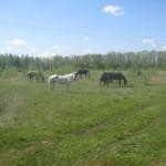 Свободные лошади на свежей травке