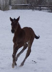 Маленький  чистокровный верховой конь